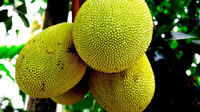 孕妇怀孕期间能吃菠萝蜜,木菠萝,树菠萝吗